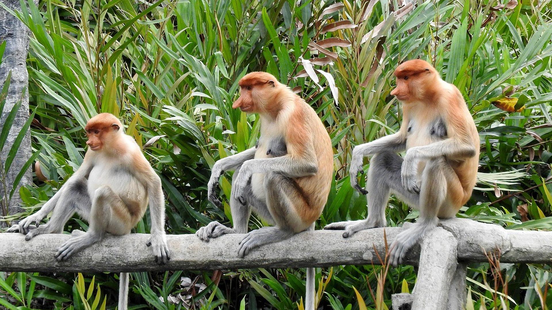 Brunei Proboscis Monkey Encounter Tour Pan Bright Travel